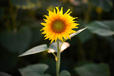 Close-up of sunflower growing outdoors during sunny day - p1166m2093966 by Cavan Images