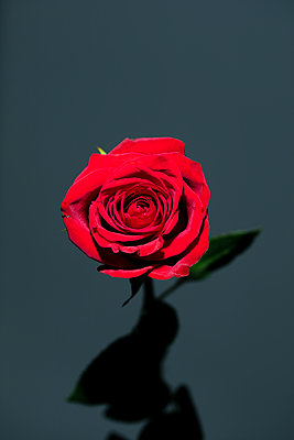 Red rose in unique light - p919m2195648 by Beowulf Sheehan