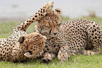 Cheetah (Acinonyx jubatus) mother and an old cub - p8714044 by James Hager