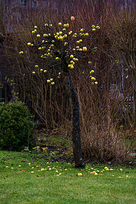 Kleiner Apfelbaum - p223m913114 von Thomas Callsen
