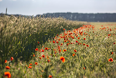 Red poppies blooming in countryside meadow - p300m2290462 by Anke Scheibe