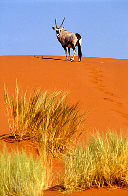 Ram on sand dune in Sossusvlei - p6441142 by Sasha Gusov