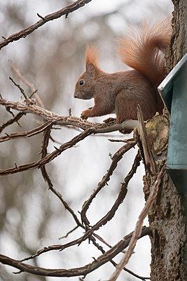 Eichhörnchen auf Amberbaum - p739m1529094 von Baertels
