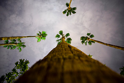 Tall palm trees lit by artifical light at night and set against a threatening stormy grey sky - p1057m1466777 by Stephen Shepherd