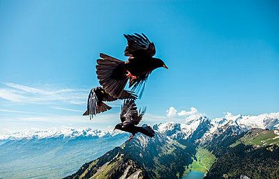 Krähen fliegen durcheinander vor der Kulisse des Sämtisersees - p880m2295432 von Claudia Below