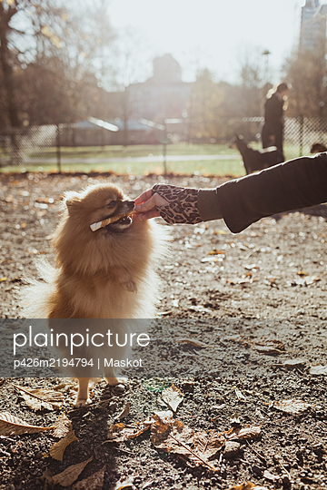 Pomeranian biting on toy held by woman at park during sunny day - p426m2194794 by Maskot