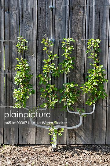 Spalierobst - p451m903671 von Anja Weber-Decker