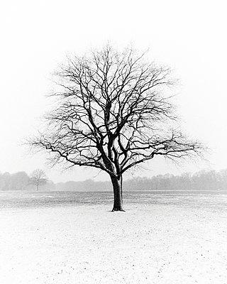 Bare tree in a park - p1696m2293053 by Alexander Schönberg