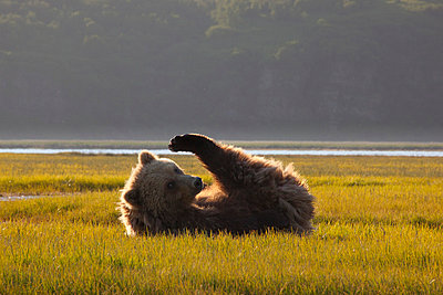 Grizzly Bear young female on sedge flats - p884m864053 by Matthias Breiter