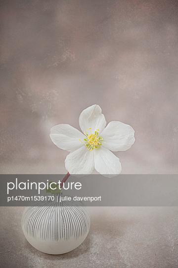 White Hellebore in pot - p1470m1539170 by julie davenport