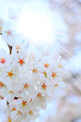 Cherry blossoms in full bloom, Japan - p307m1535078 by SHOSEI