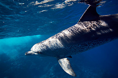 An Indo Pacific Bottlenose dolphin swimming in the blue - p3433410 by Kennet Havgaard