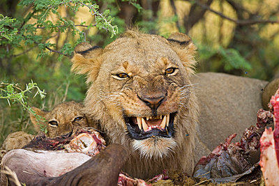 Lioness (Panthera leo) eating buffalo - p3007517f by Fotofeeling