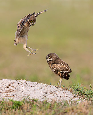 Burrowing Owl juvenile flying, Florida - p884m1356854 by Ron Bielefeld/ BIA
