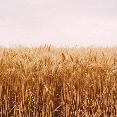 A field of ripening wheat growing, near Pullman in Whitman County.  - p1100m875906f by Paul Edmondson
