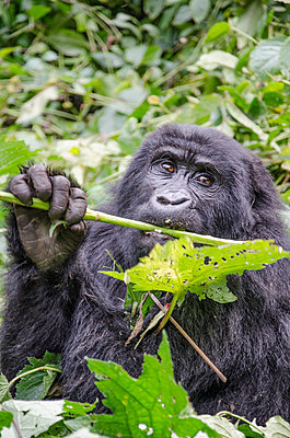 Close-up of chimpanzee holding leaf while sitting amidst plants at Bwindi Impenetrable National Park - p1166m1542558 by Cavan Social