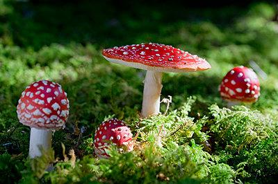 Four flying agarics in forest - p300m2143452 von Claudia Rehm