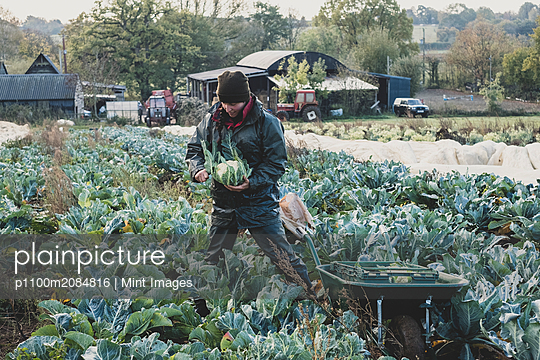 Woman standing in field, harvesting cauliflowers. - p1100m2084816 by Mint Images