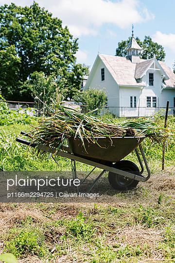 Wheelbarrow filled with freshly harvested hardneck garlic - p1166m2294725 by Cavan Images