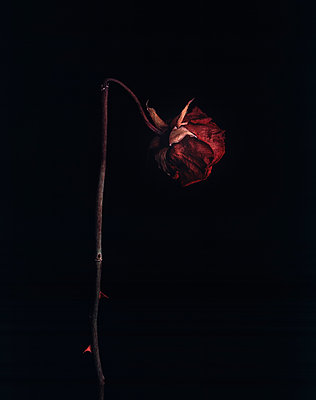 Wilted rose - p1088m2116308 by Martin Benner