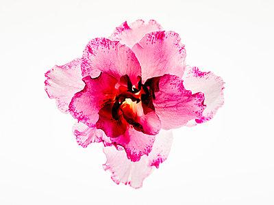 Azaleenblüte - p401m2008370 von Frank Baquet