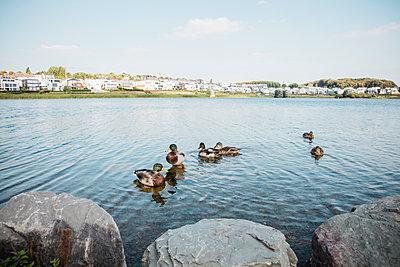 Enten auf See vor Uferpromenade - p902m1207618 von Mölleken