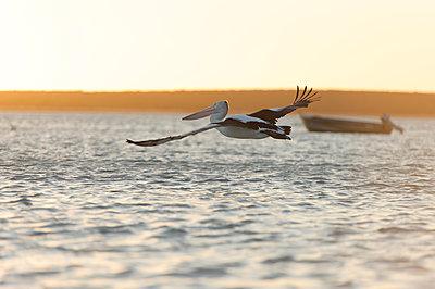 Fliegender Pelikan - p1273m1110951 von melanka