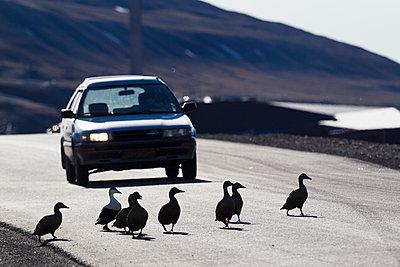 Europe, Norway, Spitsbergen, Svalbard, Longyearbyen, Eider duck crossing road in front of car - p300m878328 by Fotofeeling