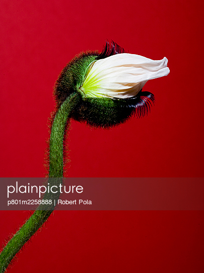 White poppy flower with lashes - p801m2258888 by Robert Pola
