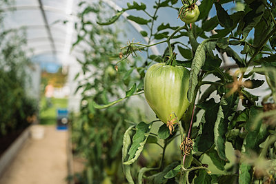 Close-up of tomatoes growing on plants in greenhouse - p1166m2011479 by Cavan Social