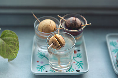 Avocado seed with root in glass with water - p1059m2209201 by Philipp Reiss