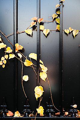 Gelbe Weinblätter an einem Eisengitter - p1248m2228851 von miguel sobreira