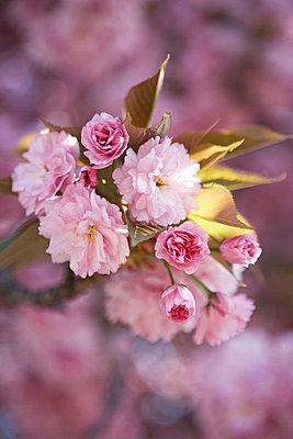 Cherry blossom (sakura) flowering in London UK - p349m695301 by Jon Day