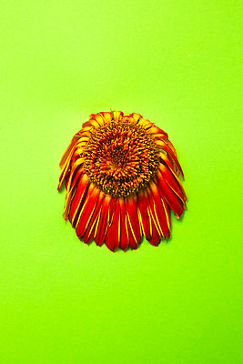 Dead orange, red, and yellow gerbera daisy flower photographed against lime green background in studio - p919m2206448 by Beowulf Sheehan