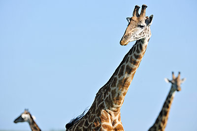 Three giraffes - p533m1120349 by Böhm Monika