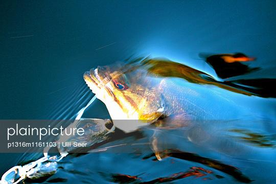 Fisch am Haken, Fluss Ottawa, Kanada - p1316m1161103 von Ulli Seer