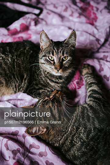 Two cats playing together - p1507m2196566 by Emma Grann