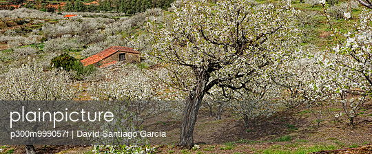Spain, Extremadura, Valle del Jerte, Valley with blooming cherry trees - p300m999057f by David Santiago Garcia