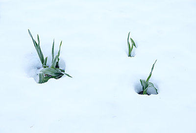 Blades of grass under snow cover - p1229m2054270 by noa-mar