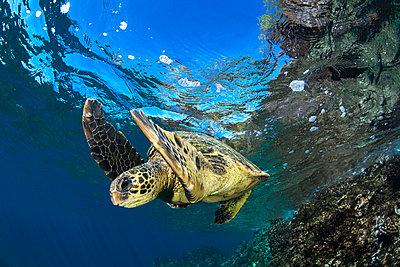 Hawaiian Green Sea Turtle (Chelonia mydas); Maui, Hawaii, United States of America  - p442m1578821 by Jenna Szerlag