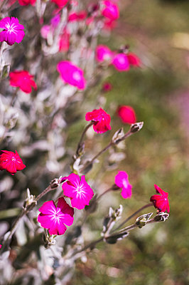 Pink flowers of the meadow - p947m2193541 by Cristopher Civitillo