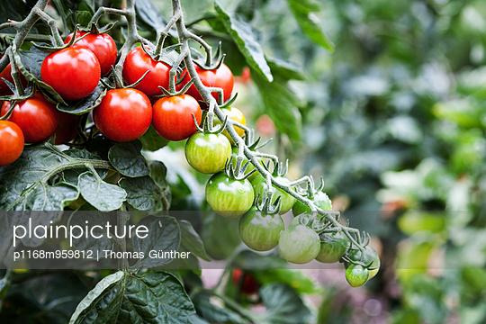 Tomaten - p1168m959812 von Thomas Günther