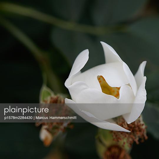 Weiße Wildrose  - p1578m2284430 von Marcus Hammerschmitt