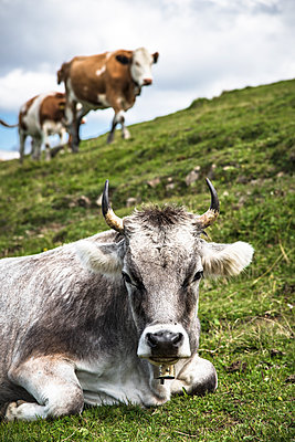 Cow Portrait in the Dolomites, South Tyrol, Italy, Europe - p1062m2199736 by Viviana Falcomer