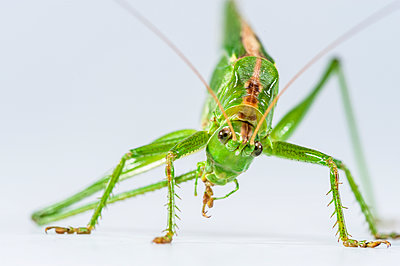 Great green bush cricket, Tettigonia viridissima - p1437m2057066 by Achim Bunz