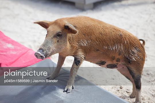 Schwein klettert auf Liegestuhl - p045m1589599 von Jasmin Sander