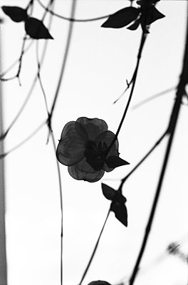 Silhouette of flowers - p1648m2228471 by KOLETZKI