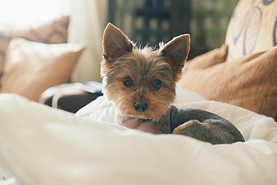 Portrait of yorkshire terrier lying on dog pillow - p300m1581497 by skabarcat
