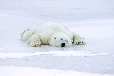 Polar Bear resting splayed out on ice to cool off after playing - p8844479 by Matthias Breiter