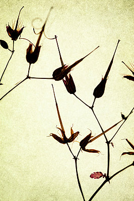 Dried and pressed herb robert stems and flowers  - p1047m2134853 by Sally Mundy